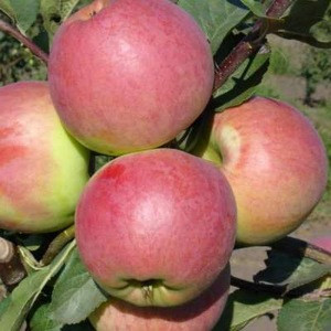 Commonly Cultivated Fresh Quality Guava