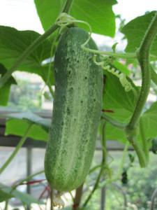 Fresh cucumber/ Green cucumber