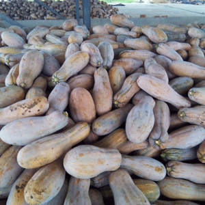 Farm Artificial Directly Sales Fresh Pumpkin With Best Quality