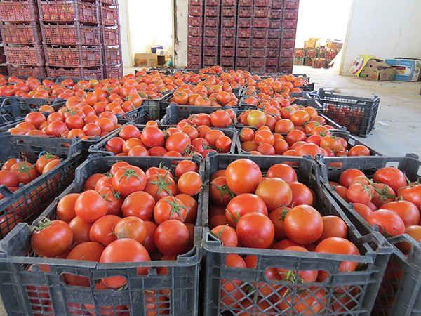 Fresh Tomato طماطم طازجة