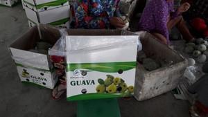Fresh GUAVA high quality