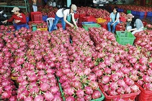 DRAGON FRUITS FROM VIETNAM PRICE IN HARVEST MONTH