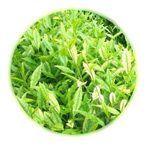 China green tea Brain protection Angie White Tea