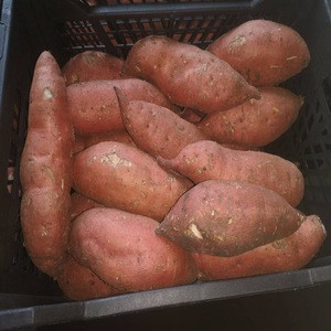 Fresh sweet holland potato with high protein