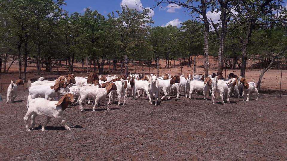 Pure Breed Boer Goats / Live Boer Goats Male/ Female / Live Sheep,