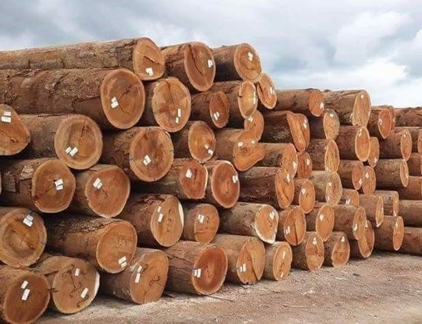 Best Price of Pine Wood Logs from Vietnam Cheap Price High Quality Pine Log Timber Sawn