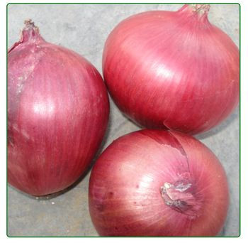 Fresh red onions size 8cm up for sale