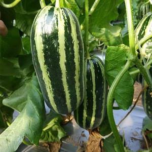 Fruit Seeds Good Taste High Yield High Yield Sweet Melon Seeds