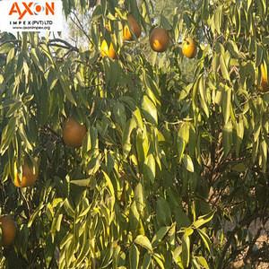 Citrus Fruit Product Type Mandarin / Orange, Tangerine, Lemons, Clementine, citrus fruits, limes, quince
