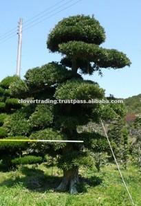 Big Live Plant Bonsai