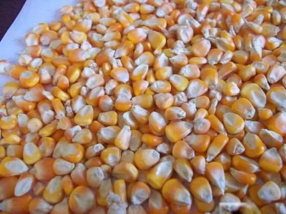 Yellow Maize/Corn, Non-GMO, Fit for Human Consumption and Animal Feed
