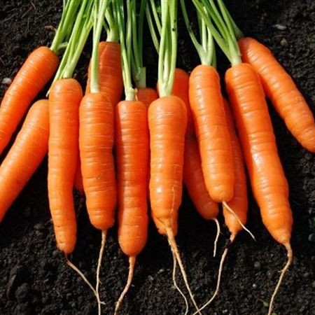 Vietnam fresh carrot / carrot powder - Wholesale for dried carrot / fresh - High quality carrot extract Cheap Price Bio Clean