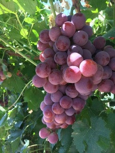 Fresh Grapes Seedless Grapes, Seedless Grapes, Grapes with Seeds Green Grapes and Red Grapes