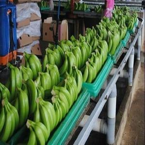 Cavendish Banana Variety  / Fresh Cavendish Bananas Of Ecuador