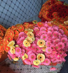 Fresh flower Gerbera
