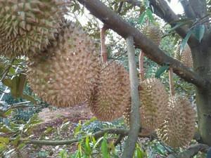Vietnamese Fresh Durians