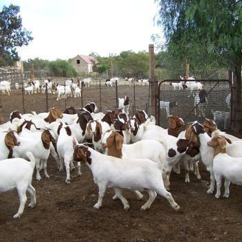 We supply live sheep , & Live Goats , & cattle ( steers and cows), calf ( young ) for the best price