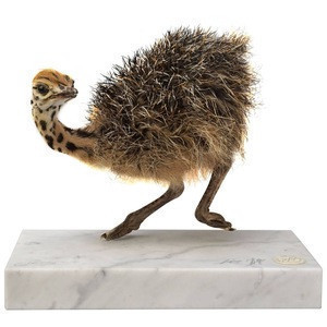 Hot sales Live Healthy Ostrich Chicks for sale