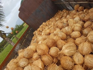 Indian Coconut/Semi Husked Coconut/Fresh Coconut!