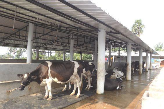 Cow Animal Stall Cattle Matt