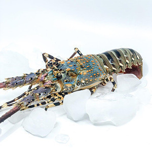 Best Quality Live/ Fresh / Frozen Wholesale Pearl Lobster IQF Bulk Packaging