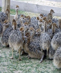 Healthy Live Ostrich Chicks For sale