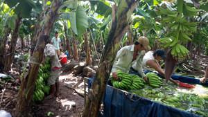 Farm Fresh Cavendish Banana For Export