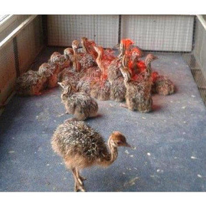 Cheap!! Healthy Ostrich Chicks  and Fertile Eggs