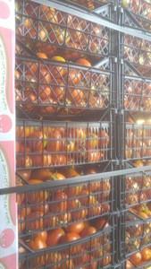 Fresh tomato color / fresh tomato specifications / fresh tomato packing