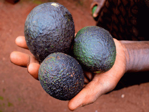 Grade A Fresh Hass and Fuerte Avocados for Sale