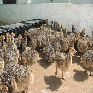 Healthy Ostrich chicks South African farmers