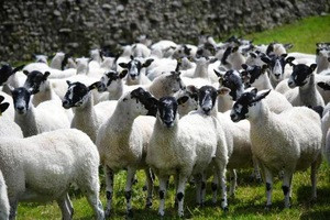 North of England Mule Breeding Shearlings