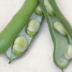 Quality Broad Bean For Sale