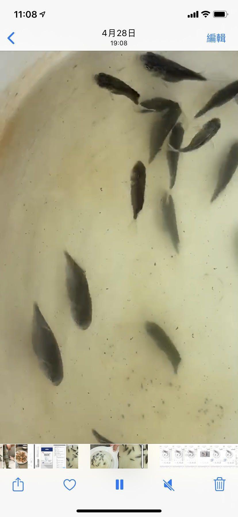 Snubnose Pompano( Trachinotus blochii)