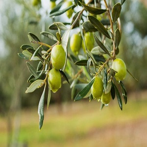 Good Quality Fresh Olives Available for sale..