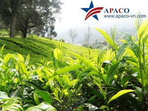 Dried green tea leaves And Organic tea Vietnam Export for Middle East,  Asian, China, Japan 0084913598845