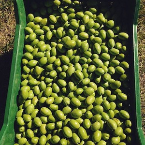 Fresh Green Olives For Sale Quality