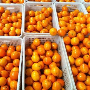 Fresh Style and Citrus Fruit Product Type Mandarin / Orange