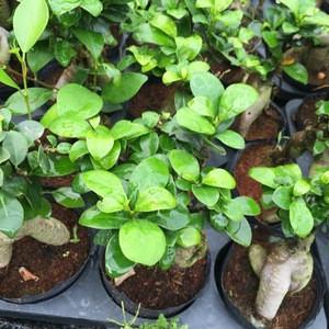High Grade bonsai Ginseng ficus