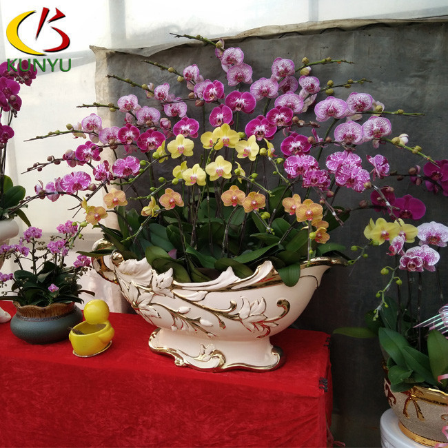 Subtropical climate Singapore Orchid phalaenopsis seedlings greenhouse for sale