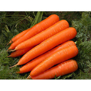 New fresh Carrot export