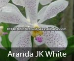 BB Orchids, Orchid plants fresh from Thailand : Aranda JK White