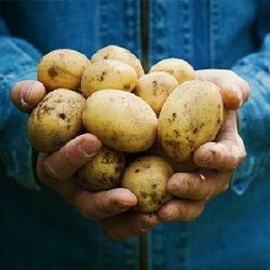 Fresh Potato Wholesale