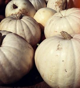 Fresh White Pumpkins 150 mt. (new) 2015