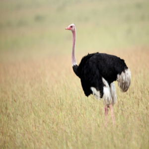 Healthy Live ostrich chicks and  birds