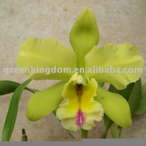 Indoor Potted Plant Beautiful Orchid Flower Cattleya Seedling