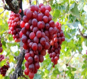 South Africa mature red globe fresh grapes