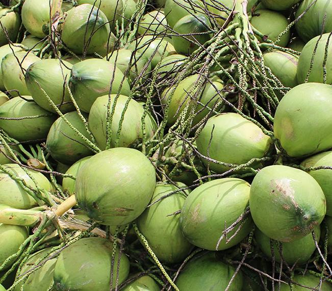 Vietnam fresh coconut / semi husked coconut - Wholesale for dry coconut / diamond cut coconut - Big Sale young coconut