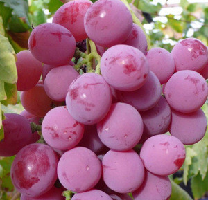 Fresh & Frozen Sweet Seedless Grapes at Supplier Prices