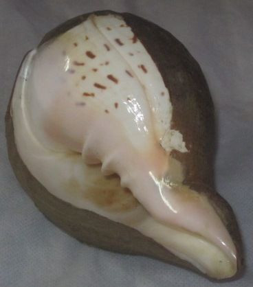 Turbinella Pyrum ( Chank) For Export